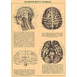 Vintage de anatomía del cerebro humano