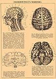 Vintage Anatomie, 1800, Russland, Das menschliche Gehirn, 250 g/m² glänzender Kunstdruck A3