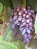 Vitis vinifera Blauer Spätburgunder (Pinot Noir) - fruchtiger Geschmack