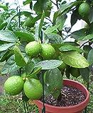 Portal Cool 15pc Kaffernlimette Baumsamen Gartenpflanze Bonsai Seed Topfpflanze Heim Orchard