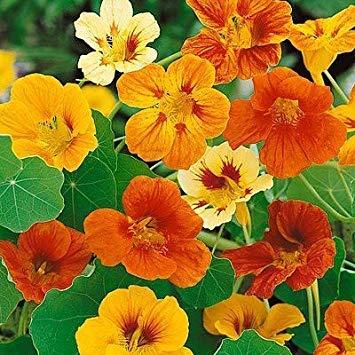 BloomGreen Co. Graines de fleurs: capucine Graines naines Cherry Rose jardin (12) Packets Jardin Graines de plantes