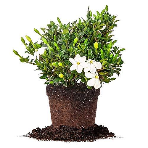 FERRY Bio-Saatgut Nicht nur Pflanzen: Kleims Hardy Gardenia 100 Seeds Größe: 100 Seeds Glon -