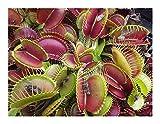Dionaea muscipula G16 Slacks Giant - dionea atrapamoscas o Venus atrapamoscas - 5 semillas