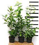 Kirschlorbeer-Hecke, Prunus l. Novita, im Topf-gewachsen (50/70 cm hoch)