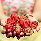 Go Garden Sahne, Schokolade, Erdbeere japan Süßigkeiten Obst Pflanzenkeimling zum Verkauf, Hausgarten Suculenta Pflanze Rot Erdbeeren 2000 Stück: 1000 Stück