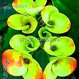 2016 Seltene 50pcs Grün Euphorbia Milii Samen Schöne Hochzeit Blumen Pflanzen Für Hausgarten Sehr Easy Grow