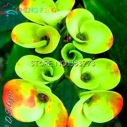 2016 50pcs rares Vert Euphorbia milii Graines Belles Plantes Fleurs de mariage pour jardin poussent très facile