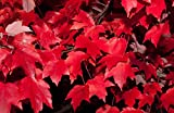 25 x Rot-Ahorn (Acer rubrum) 80 - 120 cm