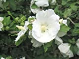 Hibiscus syriacus 'William R. Smith' - (Hibiskus - Garteneibisch 'William R. Smith')- Containerware 60-100 cm