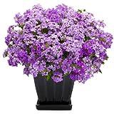 Pinkdose® Blumensamen: Barbena Blaue Terrasse Garten Blume Schmetterling Anziehen Blumensamen Garten [Hausgarten Samen Eco Pack] Pflanzensamen Von