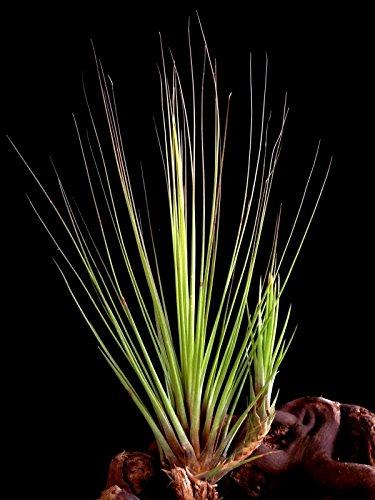 Eine Pflanze Seltene Regenwald Tillandsien juncifolia circa 25 cm Höhe
