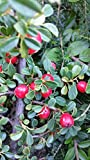 50 Stk. Cotoneaster dammeri 'Streibs Findling' - (Kriechmispel 'Streibs Findling')- Topfware 15-20 cm