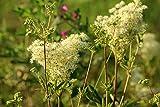 Filipendula ulmaria,Echtes Mädesüß 200 Samen