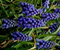 Muscari armeniacum - Traubenhyazinthe (10) von Das Blumenliesel auf Du und dein Garten