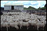 477041 Sheep Shearing Near Lake Taupo New Zealand A4 Photo Poster Print 10x8