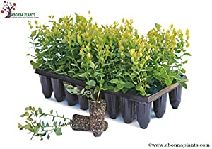 Blueberry Plants Imported from USA/ 2 Plants-(Sharpblue Variety suitable for Hot-Cool Climate)1.5yrs Old.Grows in Container/Lawn/Patio/Garden/Pot.Book your plants Now and get Delivery in the 1st week of September 2016!!