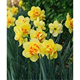 Edelnarzisse Tahiti, Osterglocke, Prachtnarzisse, Narcissus 'Tahiti', großblumig gelb geüllt, im Topf 13 cm