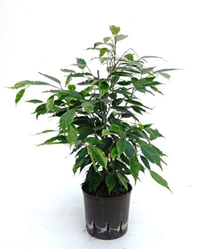 Birkenfeige, Ficus benjamini Anastasia, Zimmerpflanze in Hydrokultur, 13/12er Kulturtopf, 30 - 40 cm