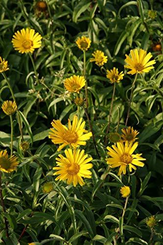 Buphthalmum salicifolium 'Alpengold' - 3 Pflanzen im 0,5 lt. Vierecktopf