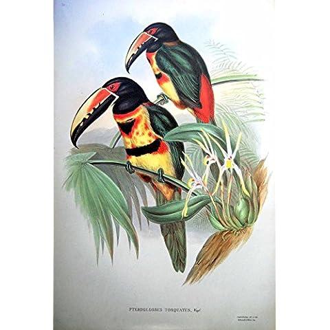 Impresión Juan Gould Pteroglossus Aracari Agarrado Torquatus Wagl.Bird