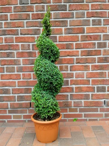 2 Stück Buchsbaum Spirale, Buxus sempervirens, Höhe: 90 cm, Formschnitt + Dünger