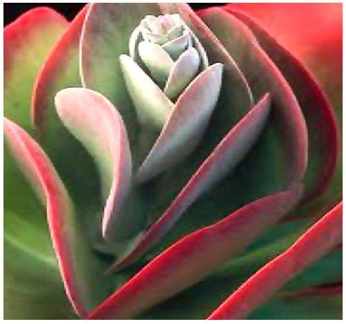 Preisvergleich Produktbild 15 x Kalanchoe Thyrsiflora - EXOTIC RARE Flapjacks - xeriscaping mesembs succulents SEEDS - AKA Paddle Plant,  Flapjacks,  Desert Cabbage,  White Lady,  Geelplakkie,  Meelplakkie,  Plakkie - Excellent Greenhouse or House Plant - By MySeeds.Co by MySeeds.Co