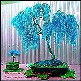 Fash Lady Verkauf * 50 stücke Seltene Sky Blue Willow Samen Chinesische Mehrjährige Blume Zimmerpflanzen Samen Immergrünen Bonsai Baum Für Garten Dekoration Mehrfarbige