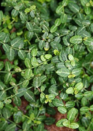 bodendecker-euonymus-fortunei-microphyllus-grosse-auswahl-im-05ltr-topf-euonymus-fortunei-minimus
