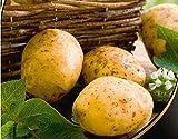 Portal Cool Kartoffel Milena Samen Bio-Saatgut Kartoffeln Ukraine 0,02 G Z