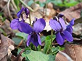 Viola Odorata, Sweet Violet, 0.25g approx 75 seeds, untreated