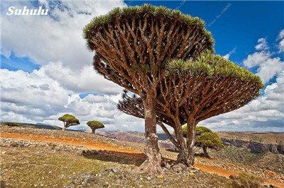 Dracaena arbre Graines, Arbre de sang (Dracaena draco), Graines rares Showy géant Fleur de cerisier Bonsai Jardin en pot Plantes 10 Pcs 24