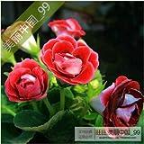 120 PC hermosas Semillas Flores Gloxinia, Sinningia Gloxinia Jardín de flores en maceta plantas, establecimiento perenne fácil de cultivar 6