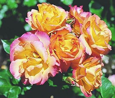 Strauchrose 'Bonanza' -R- ADR-Rose im 4 L Container von Rosen-Union - Du und dein Garten
