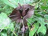 1 von Fledermausblume, t + FREE Pflanzengesundheitszeugnis by Farmerly
