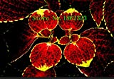 10012verschiedenen Buntnessel Samen Charming Chinesisches Gemüse Samen Bonsai Pflanzen für Garten machen pricepin Shown In Desc dunkles kaki
