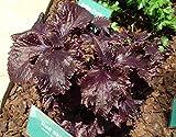 PLAT FIRM KEIM SEEDS PLATFIRM-100-1000 Lila japanische Basil (Perilla Crispa) Shiso Beefsteak Seeds