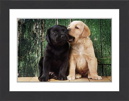 framed-print-of-black-a-yellow-labrador-dog-puppies-by-barn-door