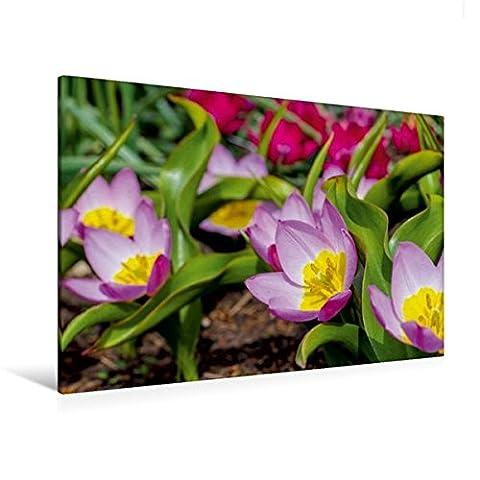 Premium Textil-Leinwand 120 cm x 80 cm quer, Tulipa Bakeri
