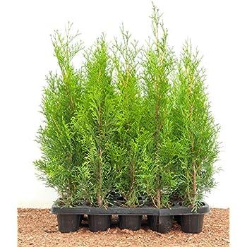 Smaragd 75-165 cm Lebensbaum Topfware Edelthuja Heckenpflanze Tuja Thuja occ