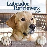 Labrador Retrievers 2020 Calendar
