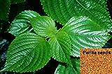 1000 Samen Perilla frutescens, Shiso, Schwarznessel, Zi Su, asiat. Gewürzkraut, TCM