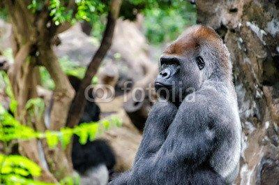 """Alu-Dibond-Bild 120 x 80 cm: """"Gorilla"""", Bild auf Alu-Dibond"""