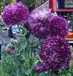 Papaver Somniferum, Peony Purple Poppy, 0.5g approx 1250 seeds