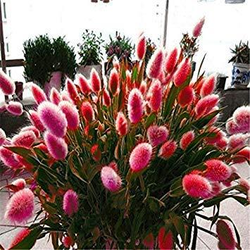 PinkdoseRot: Davitu 100 Teile/paket Kaninchen Schwanz Grassamen Mischfarbe Garten Hase Schwanz Gras Decor Pflanzen - (Farbe: Rot) (Ha Rot-schwanz)