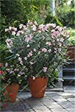 Bonsai Nerium Oleander Seed (Nerium indicum Mühle) im Freien mit Charme Blumen-Baum blühender Pflanzen Garten-Dekoration 120 PC / Los
