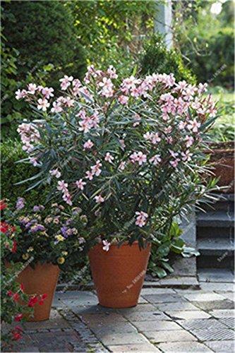 bonsai semi di nerium oleandro (nerium indicum mill) outdoor charming flower tree blooming piante decorazione per giardino 120pezzi/lotto, 3, show in picture