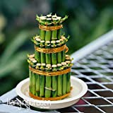 Nuevas semillas frescas DIY un semillas de bambú Casa de la buena suerte de bambú, semillas de Dracaena en maceta también conocido como Próspero Torre - 100 PCS / Pack #