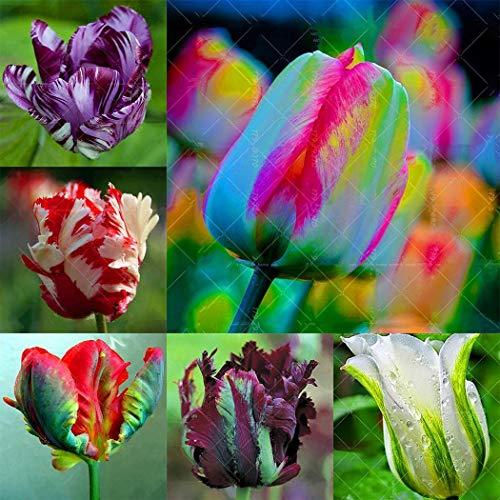 Soteer Garten- Tulpenzwiebeln Samen Tulpenmischung Blumenpflanze Bonsai Saatgut verschönert winterhart mehrjährig duftend (20 Korn)