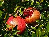 Punica Granatum, Granatapfel, winterhart, 10 Samen