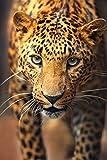 Wallario Poster - Leopard in Nahaufnahme bein Laufen in Premiumqualität, Größe: 61 x 91,5 cm (Maxiposter)